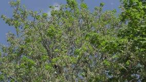 Quedas do fluff do álamo branco das árvores vídeos de arquivo