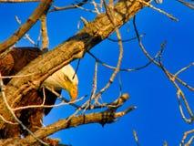 Quedese calvo a Eagle Hiding Behind una rama foto de archivo
