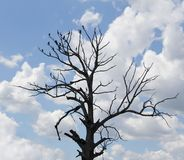 Quedese calvo el árbol viejo con los pequeños pájaros en ramas Imagen de archivo libre de regalías