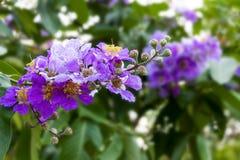 Queen's-Krepp-Myrte-Blume, Lagerstroemia speciosa Pers, die Blume der Königin im Park oder im Wald in tropischem stockfoto