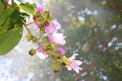 Queen& x27; мирт crape s цветет и дым в предпосылке стоковое фото