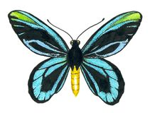 Queen Alexandra` s birdwing butterfly Royalty Free Stock Images