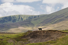 Queen of all she surveys. Lone cow standing on a hillock in the midst of a Scottish highland scene Royalty Free Stock Images