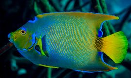 Queen angel fish. Swimming along the reef stock photos