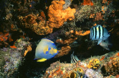 Queen Angel reef. Shallow crevice in wall hosting a queen angelfish and sargent major fish Royalty Free Stock Photos