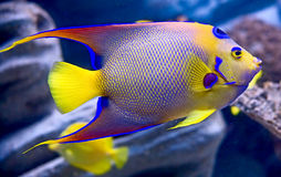 Queen angelfish 1. Portrait of nice queen angelfish Royalty Free Stock Images