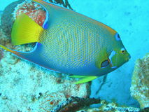 Queen Angelfish. Beautiful Queen Angelfish swimming the reef in the Bahamas Royalty Free Stock Images
