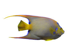 Queen Angelfish. (Holacanthus ciliaris) in front of white background Royalty Free Stock Photos