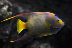 Queen Angelfish. A vibrant Queen Angelfish against a dark background Royalty Free Stock Photos