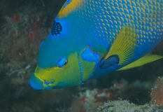 Queen Angelfish Stock Image