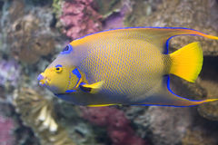 Queen Angelfish. Closeup of a Queen Angelfish (Holacanthus ciliaris Stock Photo