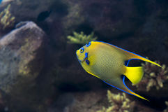 Queen Angelfish. A Queen Angelfish in a reef aquarium Royalty Free Stock Image