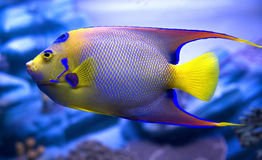 Queen angelfish 3. Queen angelfish. Latin name - Holacanthus ciliaris Stock Photography