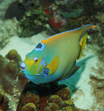 Queen Angelfish. A colorful Queen Angelfish in the Caribbean Sea Stock Photo