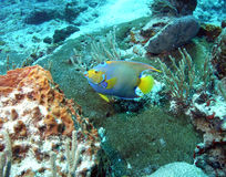 Queen angelfish. Shot on the barrier reef off ambergris cay, belize Royalty Free Stock Photos