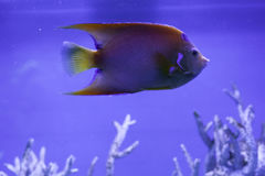 Queen angelfish in aquarium. Close up, holacanthus ciliaris Stock Images