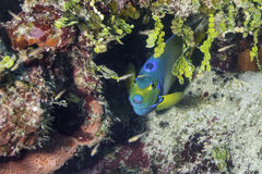 Queen Angelfish. In Belize Barrier Reef Royalty Free Stock Image