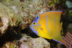 Queen angelfish. Bright yellow and blue juvenile queen angelfish on reef Royalty Free Stock Photo