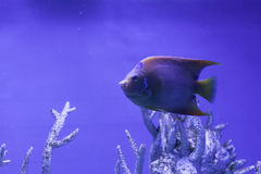 Queen angelfish close up. Among the corals, holacanthus ciliaris Royalty Free Stock Images