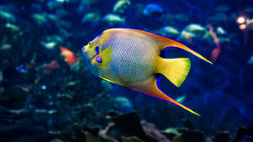 Queen Angelfish. Close- up view of a beautiful Queen Angelfish (Holacanthus ciliaris Stock Photos
