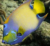 Queen Angelfish. Closeup of a brightly colorful Queen Angelfish Royalty Free Stock Image