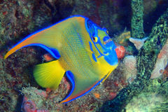 Queen angelfish. On coral encrusted wreck Stock Photography