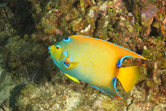 Queen Angelfish on a Coral Reef. Queen Angelfish (Holacanthus ciliaris) on a Coral Reef - Roatan, Honduras Royalty Free Stock Photos