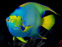 Queen Angelfish on Dark Background. Queen Angelfish, Blue and Yellow, with Dark background and coral Royalty Free Stock Photo