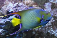 Queen angelfish. Fish saltwater aquarium Stock Photos