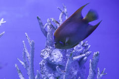 Queen angelfish floats down. Among the corals, holacanthus ciliaris Royalty Free Stock Image