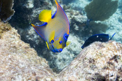 Queen Angelfish. In Florida Keys Barrier Reef Royalty Free Stock Photography
