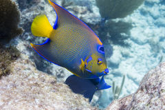 Queen Angelfish. In Florida Keys Barrier Reef Royalty Free Stock Photos