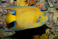 Queen Angelfish (Holacanthus ciliaris) Royalty Free Stock Photos