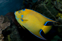 Queen Angelfish (Holacanthus ciliaris). In Aquarium Stock Image