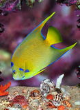 Queen Angelfish (Holacanthus ciliaris). A beautiful Queen Angelfish searching for food amid colorful seashells and a purple coral reef Royalty Free Stock Images