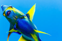 Queen Angelfish  holacanthus ciliaris. Close up of underside of yellow and blue Queen Angelfish  holacanthus ciliaris in blue water Stock Photo