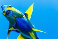 Queen Angelfish  holacanthus ciliaris Stock Photo