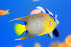 Queen angelfish. (Holacanthus ciliaris) in Japan Royalty Free Stock Photo