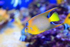 Queen angelfish. (Holacanthus ciliaris) in Japan Royalty Free Stock Image