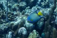 Queen angelfish in coral reef. The queen angelfish Holacanthus ciliaris is a marine angelfish commonly found near reefs in the warmer sections of the western Stock Images