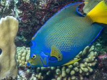 Queen angelfish,Holacanthus ciliaris. Is a marine angelfish Royalty Free Stock Photos