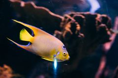 Queen Angelfish Holacanthus Ciliaris Swimming In Aquarium.  Royalty Free Stock Photo