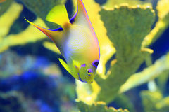Queen angelfish (Holacanthus ciliaris). Queen angelfish  (Holacanthus ciliaris) under water Stock Image