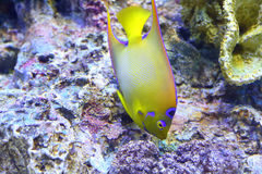 Queen angelfish (Holacanthus ciliaris). Queen angelfish  (Holacanthus ciliaris) under water Stock Photo