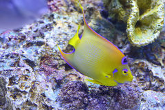 Queen angelfish (Holacanthus ciliaris) Royalty Free Stock Images