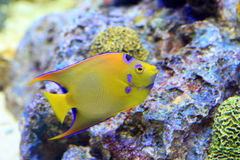 Queen angelfish (Holacanthus ciliaris). Queen angelfish  (Holacanthus ciliaris) under water Stock Images