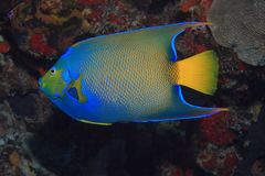 Queen angelfish. (Holacanthus ciliaris) underwater in the coral reef of the caribbean sea Stock Image