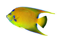Queen Angelfish Isolated. A beautiful Queen Angelfish (Holacanthus ciliaris) isolated on a white background Stock Photo