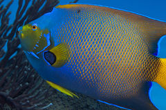 Queen Angelfish Portrait Stock Image