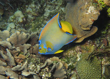 Queen Angelfish- Roatan, Honduras. A queen angelfish in Roatan, Honduras Royalty Free Stock Photo
